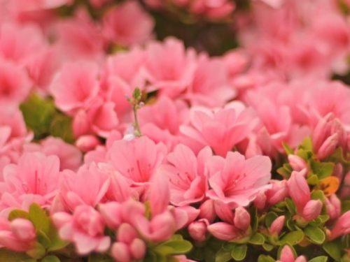 つつじの花