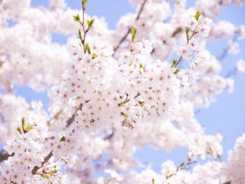 上野公園のお花見ルール。禁止事項とトイレの場所は確認必須!