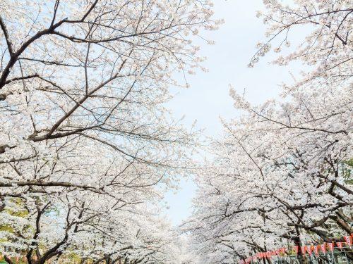 上野恩賜公園でお花見がしたい!桜の見頃はいつまで?混雑状況は?