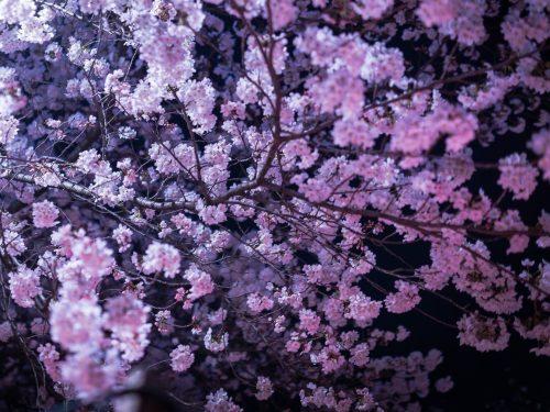 夜桜を楽しみながらお花見宴会をする!夜だからこその持ち物と食べ物