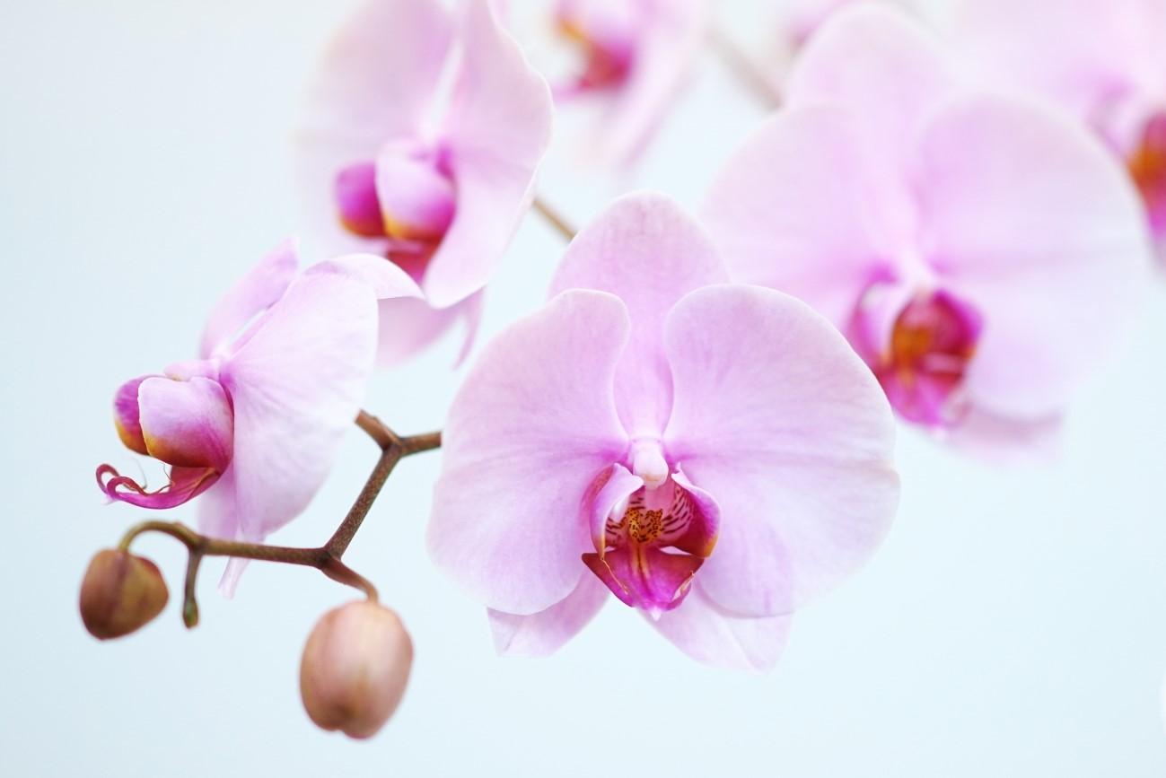 胡蝶蘭の花が咲かない?5年ぶり...