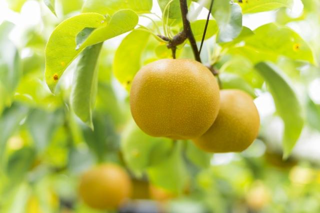 梨狩りができる千葉のおすすめ人気農園5選。梨の品種のおいしい時期