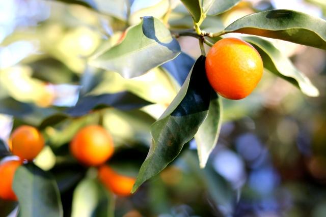 金柑の甘露煮の作り方と種の取り方。ジャムの簡単レシピで長期保存